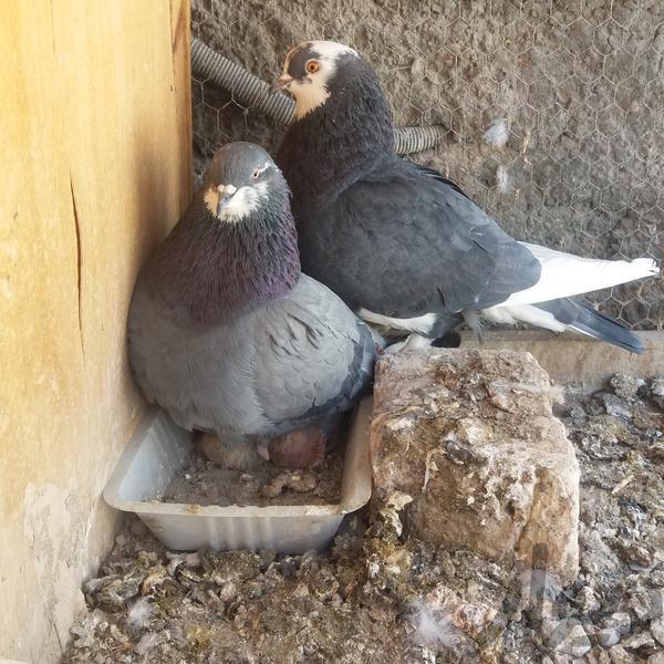 فروش کبوتر|پرنده|اصفهان بهارستان|دیوار