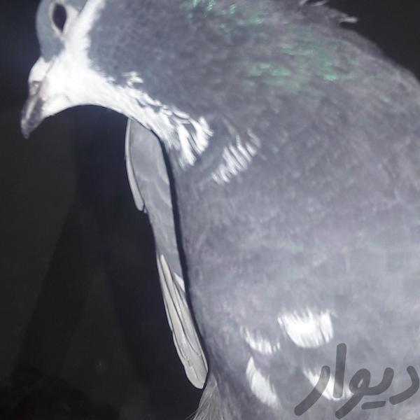 پرنده|پرنده|کرمان|دیوار