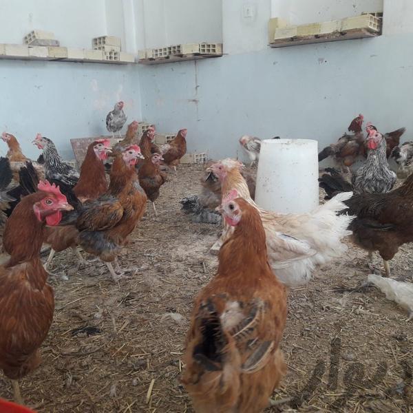 مرغ بومی تخم گذار عمده فروشی اصفهان پروین دیوار