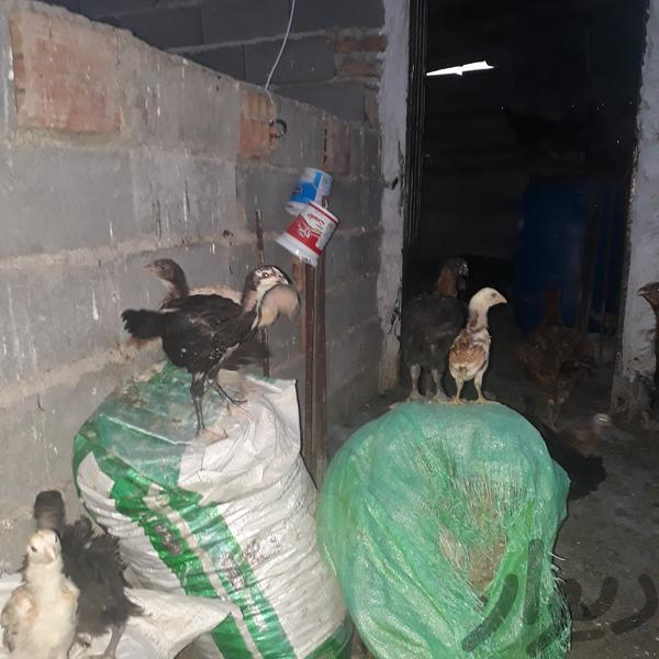 جوجه مرغ لاری|حیوانات مزرعه|گنبد کاووس|دیوار