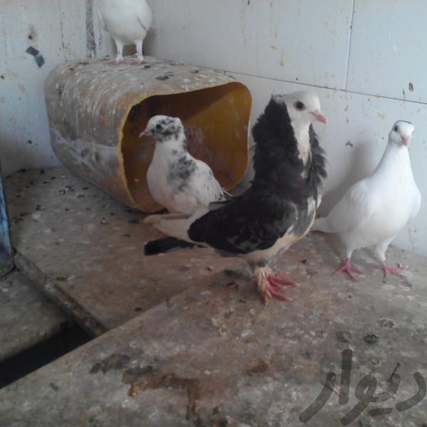 کبوتر نقش پرنده اصفهان دولت آباد دیوار