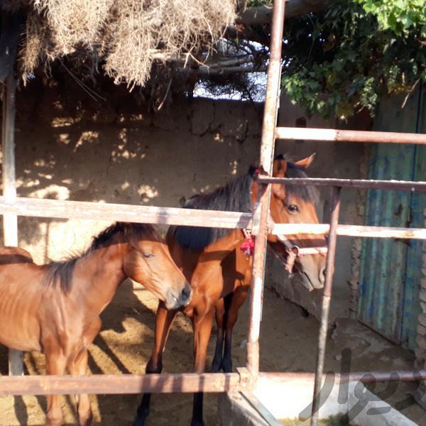 مادیان همراه کره نریان اسب و تجهیزات اسب سواری بجنورد دیوار