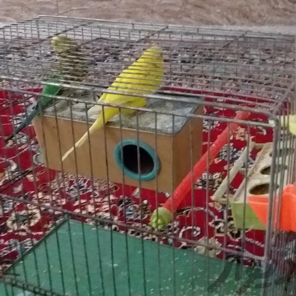 مرغ عشق مولد|پرنده|دزفول|دیوار