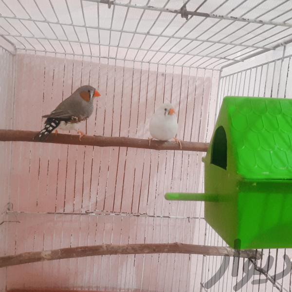 فنچ|پرنده|دزفول|دیوار
