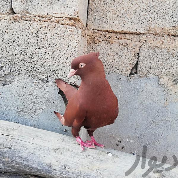 ماده سرخ|پرنده|دزفول|دیوار