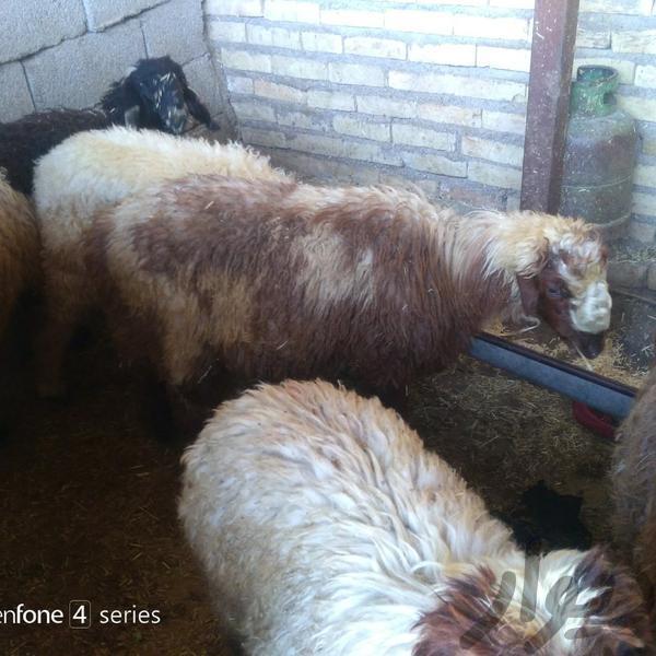 گوسفند حیوانات مزرعه دزفول دیوار