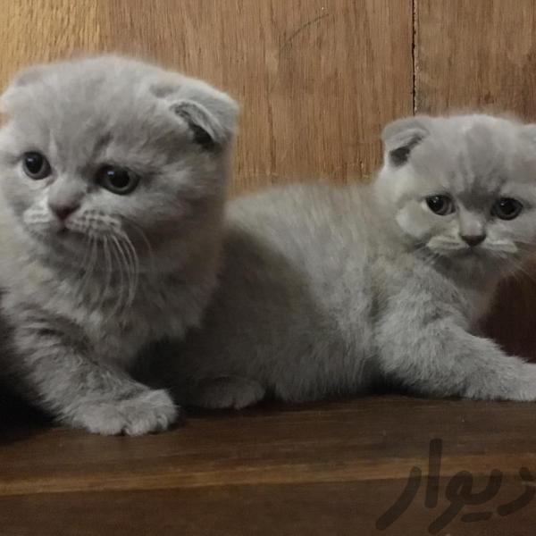 فروش بچه گربه های اسکاتیش گربه تهران جنتآباد شمالی دیوار