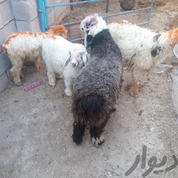 بره|حیوانات مزرعه|شوشتر|دیوار