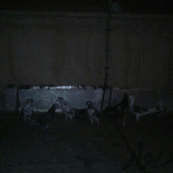 تعد ای کفتر پرنده تهران، پیروزی دیوار