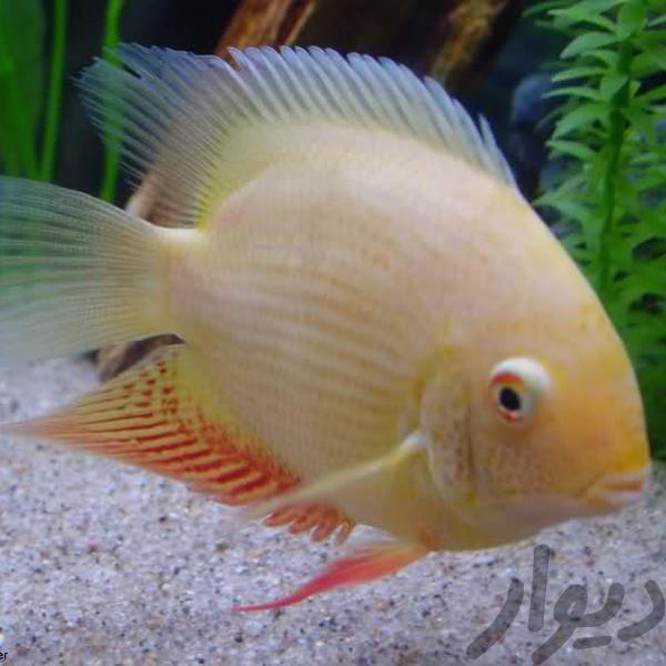 ماهی سورم|ماهی و آکواریوم|زاهدان|دیوار
