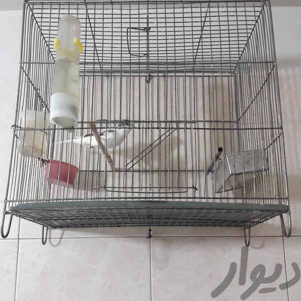 قناری|پرنده|اراک|دیوار