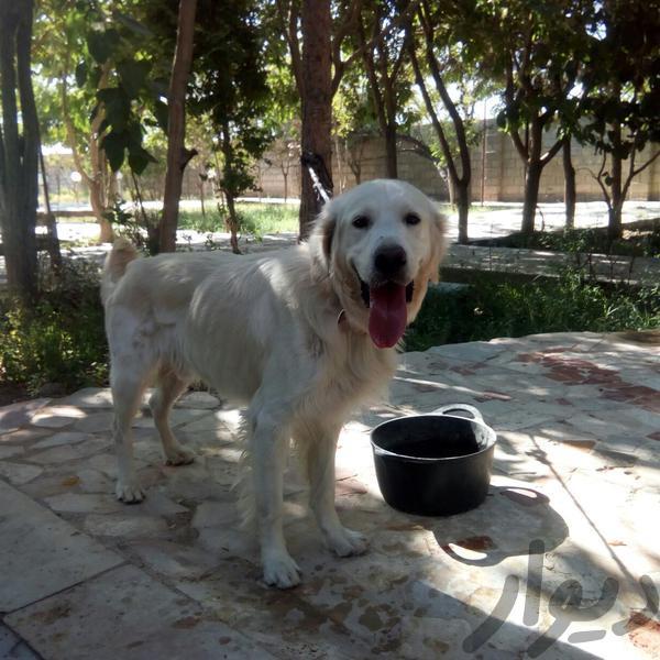 گلدن رتریور|سگ|اصفهان، بهارستان|دیوار