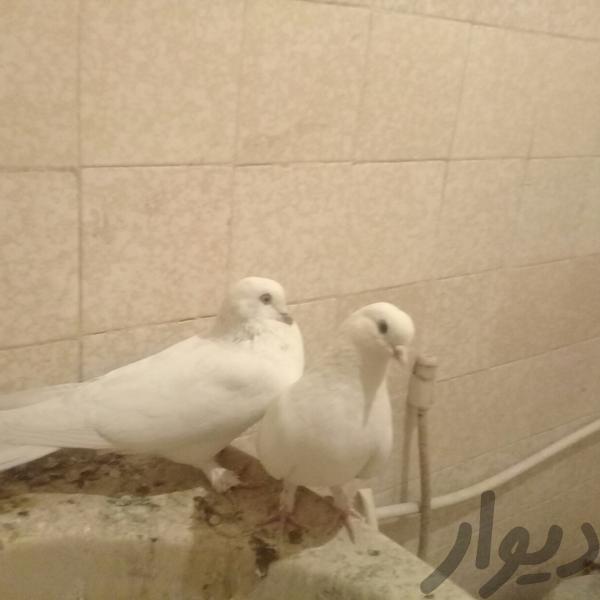 کبوتر بازی کن|پرنده|اصفهان، بزرگمهر|دیوار