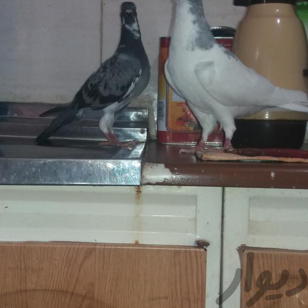 کبوتر|پرنده|دزفول|دیوار