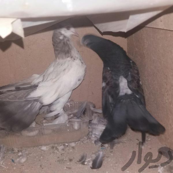 کبوتر|پرنده|تهران، طرشت|دیوار
